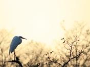 Egret in Jonathon Dickinson state park