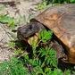 Gopher tortoise eating!
