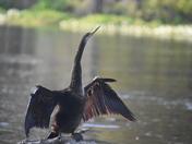 Anhinga Drying his wings