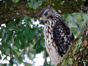 Hawk, Spying on the Campground