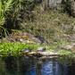 Silver springs gator