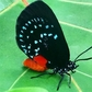 Atala on Sea Grape