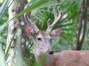 Manatee Springs buck
