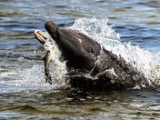 Dolphin with dinner
