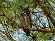 Owl taking a nap.