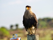 Crested Caracara at rest
