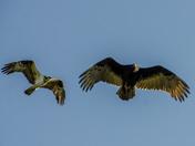 Osprey vs. Vulture