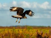 Crested Cara Cara in flight