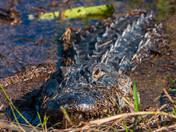 Papa Gator in the Mud