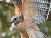 Kissimmee Hawk