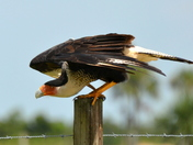 Crested Caracara at Kissimmee Prairie State Park