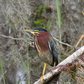 Green Heron at Myakka River State Park
