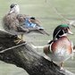 Mr. and Mrs. Wood Duck