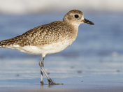 Black-Bellied Plover Portrait