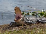 Yawning_gator_at Kissimmee_Prairie_Preserve