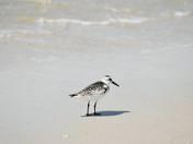 Sanderling Shore