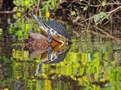 Turtle Climbing onto Log