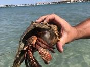 Conch Hermit