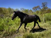 PaynesPrairie Galloping Wild Horse