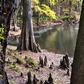 SantaFe River-bank cypress knees O'Leno