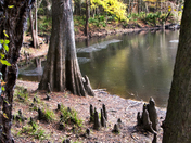 SantaFe River-bank cypress knees O'Leno