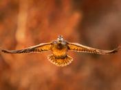 Flying Female Duck at Sunset