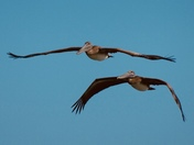 Pelicans searching for fish