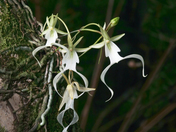 Ghost Orchid Ballet
