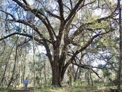 Old Oaks at the Prairie