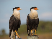 Caracara Couple Enjoying The Day