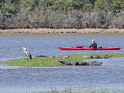 A bird, a kayaker and a half dozen gators...