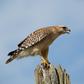 Vocalizing Hawk