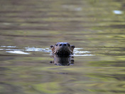 Otter oh my!