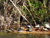 Wakulla Springs Turtle log jam
