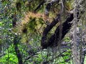 Myakka River State Park Tillandsia