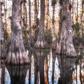 Cypress Gator