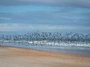 Flock of Terns