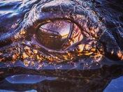 Sunset Gators Eyes