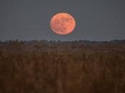 Moon in Taurus rising at Payne's Prairie.