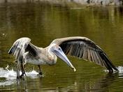 Brown Pelican Getting Dinner