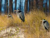 Great Blue Heron Trio