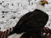 Bald Eagle near Cambridge, IA