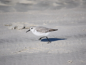 Sprinting Sandpiper