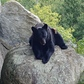 Bear at Grandfather Mountain