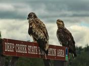 Eagles at rest