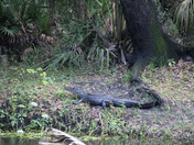 Alligator sunny