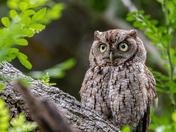 Eastern Screech Owl - John D. MacArthur Beach State Park