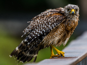 Drenched Hawk