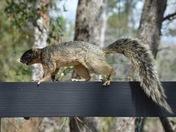 Meandering Sherman Fox Squirrel