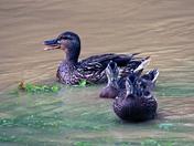 Missing ducklings